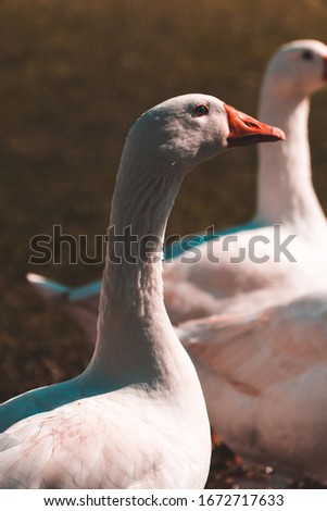 A picture of a beautiful goose