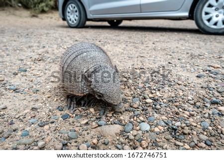 Armadillo close-up. Unusual animal with with skin shell living in South America. Wildlife of Patagonia, Argentina. Discover world, travel, love nature concept.