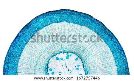 Stem of wood dicotyledon, half cross section under microscope. Light microscope slide with the microsection of a wood stem with vascular bundles, concentric arranged in a ring. Plant anatomy. Photo. Royalty-Free Stock Photo #1672757446