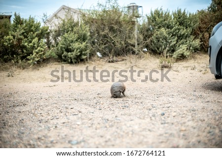 Armadillo is walking. Unusual animal with with skin shell living in South America. Wildlife of Patagonia, Argentina. Discover world, travel, love nature concept.