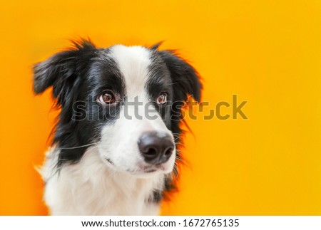 Funny studio portrait of cute smilling puppy dog border collie isolated on orange background. New lovely member of family little dog gazing and waiting for reward. Pet care and animals concept. #1672765135