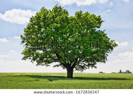 one oak tree growing in a field with agricultural plants, a field for growing food #1672836547