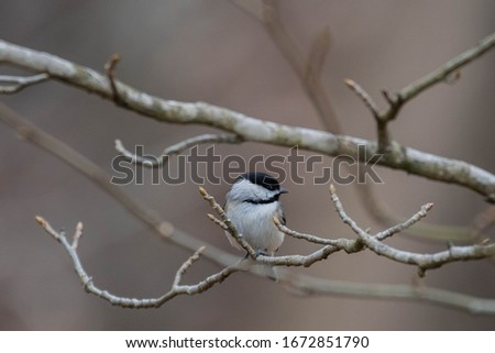 Chickadee sitting on a branch in the forest #1672851790