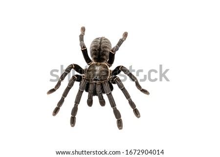"""Asian species Tarantula spider Found in Thailand, the scientific name is """"Haplopelma minax Theraphosidae Haplopelma""""."""