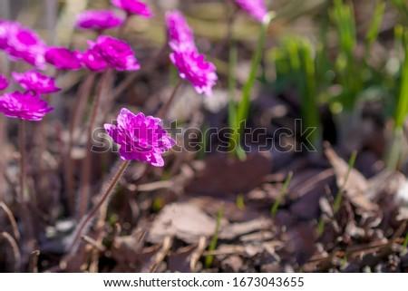 Perennial primrose or primula in the spring garden. Spring primroses flowers, primula polyanthus. Purple primroses in spring woods. Primroses in spring. The beautiful colors primrose flowers garden #1673043655