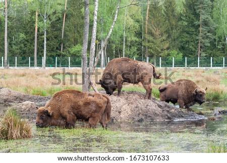Huge wild zubr (Bison bonasus) in nature. European bison in pasture in summer. Stock photo #1673107633