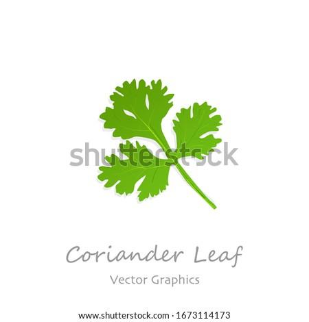 Coriander leaf on white background vector illustration. #1673114173