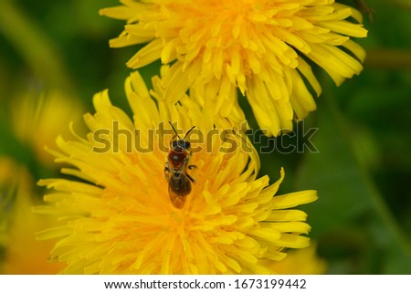 Blossom from dandelions in spring on a meadow with bee #1673199442