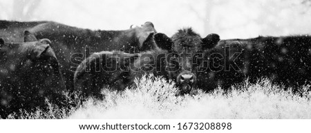 Herd of angus cattle through winter snow in black and white, horizontal banner with shallow depth of field. Royalty-Free Stock Photo #1673208898