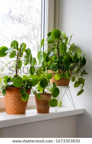 Pilea peperomioides, money plants in the ceramic pot on the windowsill. Big plant with babies. #1673303830