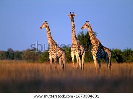 Three giraffe at the Okavango Delta. Botswana
