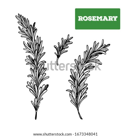 Rosemary hand drawn vector illustration. Isolated sketch of Rosemary. Engraved illustration. Rosemary spice. Black and white. #1673348041