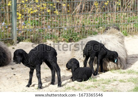 Sweet newborn lamb baby in black                    #1673365546