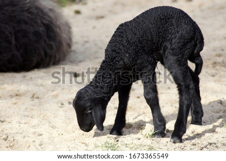 Sweet newborn lamb baby in black                    #1673365549