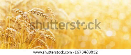 Gold background with wheat ears and free space for text. Panorama #1673460832