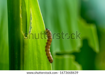 What causes the maize leaves being damaged,Corn leaf damaged by fall armyworm Spodoptera frugiperda.Corn leaves attacked by worms in maize field.