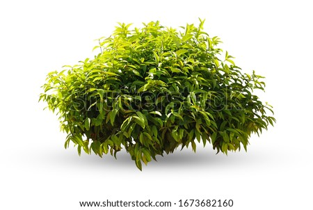 Tropical plant flower bush tree isolated on white background with clipping path Royalty-Free Stock Photo #1673682160