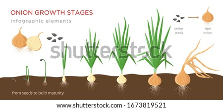 Onion plant growing stages from seeds to ripe onion - development of onion seeds, growth cycle - set of botanical drawings, infographic elements, vector illustrations isolated on white background. Royalty-Free Stock Photo #1673819521