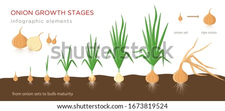 Onion plant growing stages from onion sets to ripe onion - second year development of onion seeds - set of botanical detailed infographic elements, vector illustrations isolated on white background. Royalty-Free Stock Photo #1673819524