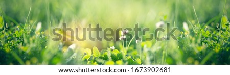 Flowering clover in meadow, spring grass and clover flower lit by sunlight in spring