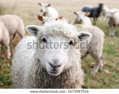 Beautiful Look  Sheep picture Animal Wallpaper
