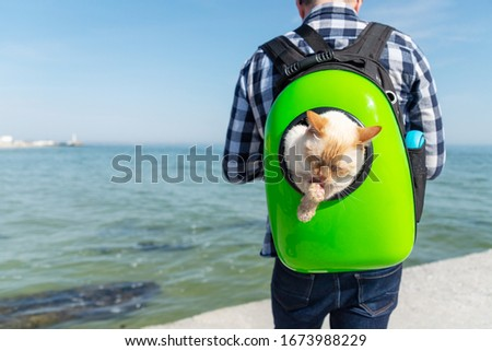 Thai (Siamese) domestic cat red point licks its paws while sitting in a backpack with the owner on the back walking near the sea close-up. Copy space. #1673988229