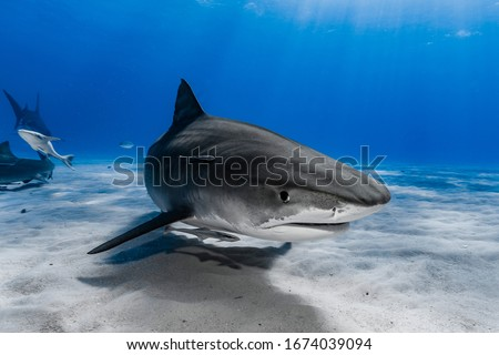 Tiger Shark (Galeocerdo cuvier) swimming over the reef #1674039094