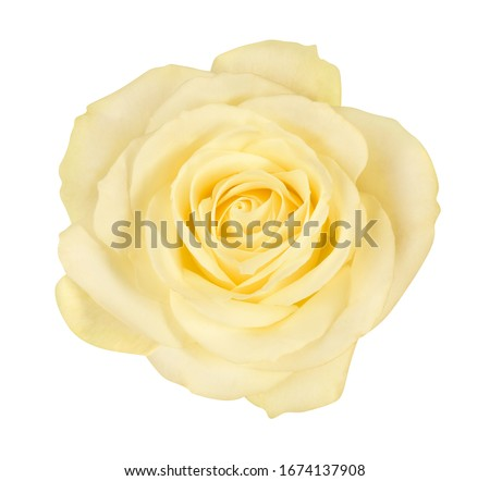 close-up of beautiful yellow rose