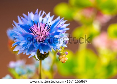 Blue cornflower close-up. Field flower cornflower. Field plants. Cornflower on a bright background. Flower of the Aster family. Field flowers. #1674155869