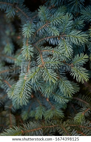 fresh foliage and branch of Picea pungens tree #1674398125