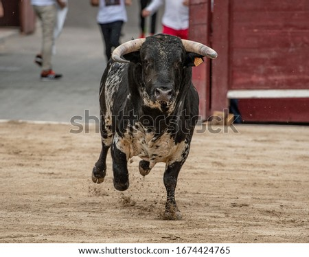 a black and white bull arrives at the bullring #1674424765