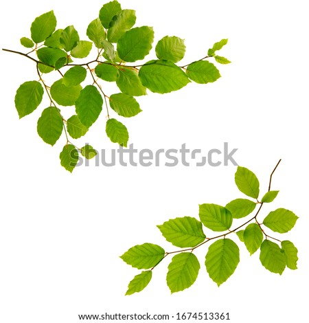 Tree branch with green leaves isolated on white background. Royalty-Free Stock Photo #1674513361