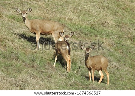 Mule deer family roaming the grassy hills of Stallion Springs in the Tehachapi Mountains in California.