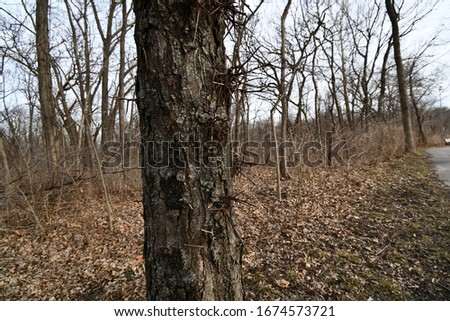 A honey locust tree. It has a spiky bark texture. Leaves are on the ground. Picture taken in Gladstone, Missouri.