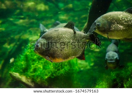 The red-bellied piranha, the red piranha (Pygocentrus nattereri)