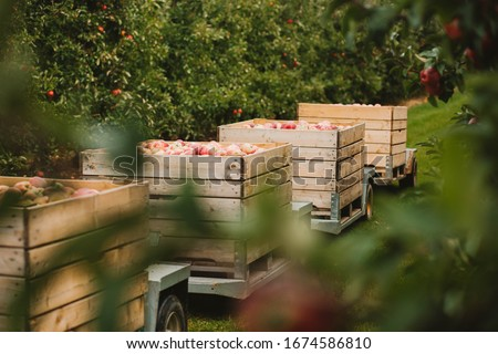 Transport of wooden crates full of apples. Harvest in apple orchard in autumn fall in poland. Green leafs, red apples. Field and apple trees. #1674586810