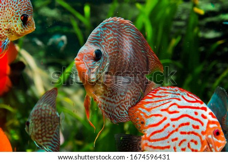 discus fish in aquarium, tropical fish. Symphysodon discus from Amazon river. Blue diamond, snakeskin, red turquoise and more  #1674596431