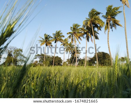 Ultra HD natural farm picture with high resolutions depicts coconut trees with blue sky and wheat crops beautifully.