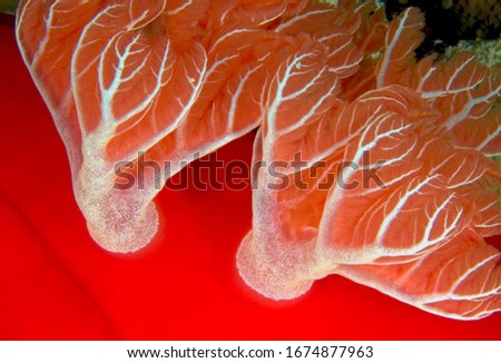 beautiful macro picture of giant Spanish dancer sea slug