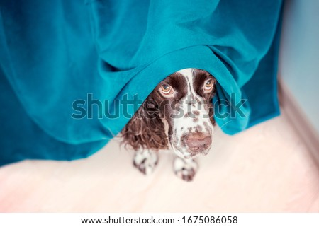 The dog is hiding behind the curtains and is afraid to go out. The concept of dogs anxiety about thunderstorm, fireworks and noises. Pets mental health, excessive emotionality, feelings of insecurity. #1675086058