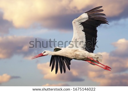 Beautiful white stork (Ciconia ciconia) in flight with a cloudy sky background. Portrait of a flying bird with vibrant colours.   Royalty-Free Stock Photo #1675146022