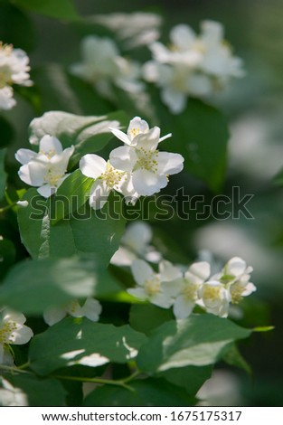 jasmine an Old World shrub or climbing plant that bears fragrant flowers used in perfumery or tea. It is popular as an ornamental. fluminense  Gold Coast Jasmine #1675175317
