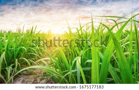 Agriculture, Sugarcane field at sunset. sugarcane is a grass of poaceae family. it taste sweet and good for health. Sugar cane plant tree in countryside for food industry or renewable bioenergy power. #1675177183