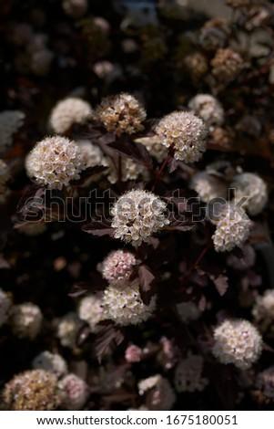 white inflorescence and dark foliage of Physocarpus opulifolius shrub #1675180051