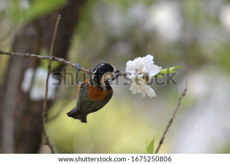 Varied tit perched on branch with flowers #1675250806