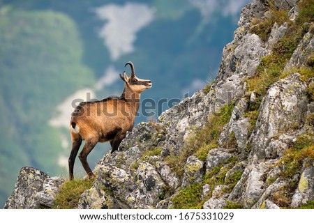 Vital tatra chamois, rupicapra rupicapra tatrica, climbing rocky hillside in mountains. Wild mammal looking up the cliff with copy space in High Tatras national park, Slovakia. Royalty-Free Stock Photo #1675331029
