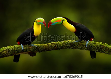 Tropic exotic birds. Toucans sitting on the branch in the forest, green vegetation. Nature travel holiday in central America. Keel-billed Toucan, Ramphastos sulfuratus, love. Wildlife from Costa Rica.