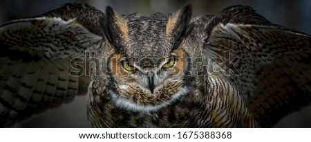 Great Horned Owl Taking Off Royalty-Free Stock Photo #1675388368