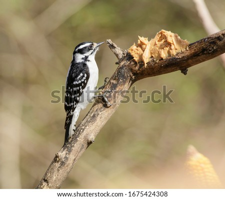 A Downy Woodpecker (Picoides pubescents) a small black and white North American woodpecker, sits on a branch facing a glob of peanut butter set out to feed birds, in York County, Pennsylvania.
