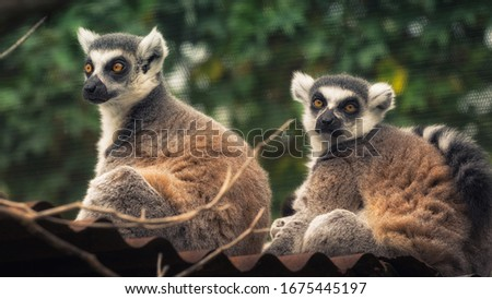 Ring tailed lemure - Madagascar Cats #1675445197